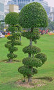Fancy shaped decorative trees with button mushroom like canopy these are typically planted at home garden or in public Stock Photos