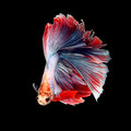 Fancy siamese fighting fish betta fish isolated on black Stock Images