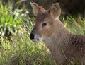 Fanged Deer Stock Photography