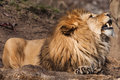 Fangs a big lion and its Stock Image