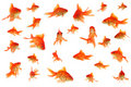 Fantail goldfish collage Royalty Free Stock Photo