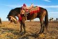 Fantasia dark bay horse with colorful saddle Royalty Free Stock Photo