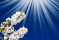 Fantastic beams above  image of blooming cherry. Royalty Free Stock Photo