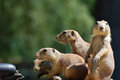 Fantastic Group of Black-Tailed Prairie Dogs Together Royalty Free Stock Photo
