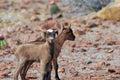 Fantastic Pair of Kid Goats in Aruba Royalty Free Stock Photo