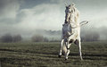 Fantastic picture of strong pure white horse big and Royalty Free Stock Photography