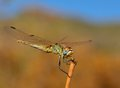 Fantastic sympetrum dragonfly in full equilibrium magnificent Royalty Free Stock Photo