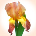 Fantasy orange iris for design of posters banner birthday card cards greetings cover magazines and other original style unique Royalty Free Stock Images
