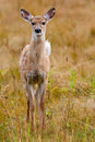 Faon de cerfs communs de Whitetailed Photographie stock