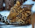 Far Eastern leopard, or Amur leopard lat. Panthera pardus orientalis is resting. Closeup, portrait. Royalty Free Stock Photo