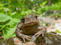 Far-eastern Toad (Bufo gargarizans) 8 Royalty Free Stock Photo