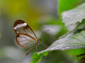 Farfalla di glasswing Fotografie Stock