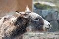 Farm Animal - Donkey