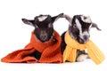 Farm Animal Goat Isolated