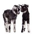 Farm Animal Goats Isolated