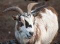 Farm animal - mountain goat Stock Image