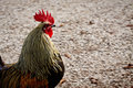 Farm animal, rooster with red hackles and wattles. Royalty Free Stock Photo