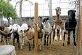 Farm Animals-Billy Goats Royalty Free Stock Photos