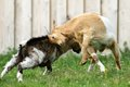 Farm animals fighting two young goats in the farmyard Stock Images