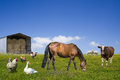 Farm animals grazing on the green field Royalty Free Stock Photo