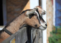 Farm animals natural organic raised animal goats in Royalty Free Stock Photography