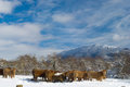 Farm animals in navarra winter landscape view scene with mountains as background Stock Images