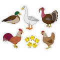 Farm animals set, vector stickers with chicken family and farm items. Cute hen, rooster, chicks, duck, turkey