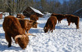 Farm animals in winter Royalty Free Stock Photo