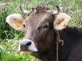 Farm cow Royalty Free Stock Images