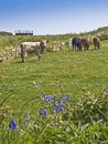 Farm cows cattle grazing in meadow Stock Image