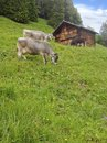 Farm Cows standing grazing grass in meadow mountain field before the wooden summer cottage hut in rural Swiss Alps area in Murren Royalty Free Stock Photo