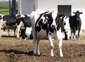 Farm Dairy Cows Royalty Free Stock Photo