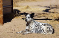 Farm dog lays in the dirt alert watches and wait his large ears perked up as if surprised Royalty Free Stock Photos