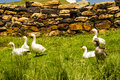 Farm ducks in a field on a in the sterkfontein area of south africa Stock Images