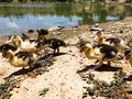 Farm ducks for meat and eggs Royalty Free Stock Images