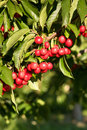Farm Fresh Cherries Sweet Fruit Vine Cherry Tree Farm Agriculture Royalty Free Stock Photo