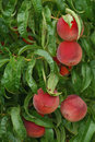 Farm Fresh Peaches ripe on tree Stock Photo