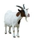 Farm goat. Isolated on white