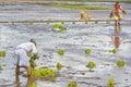 Farm Laborers Planting Rice Royalty Free Stock Photo