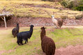 Farm of llama alpaca vicuna in peru south america andean animal is american camelid Stock Image