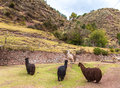 Farm of llama alpaca vicuna in peru south america andean animal is american camelid Stock Photography