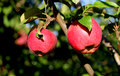 Farm organic red apples on tree branch Royalty Free Stock Photo