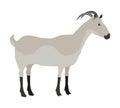Farm Pet Goat