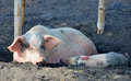 Farm pig with a piglet resting in a mud and sleeping and shade Stock Photo