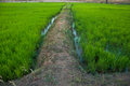It is the farm of rice that can be generally seen in rural area in thailand Stock Photo