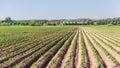 Farm and rows of potato plants Royalty Free Stock Photo