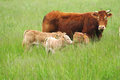Farm scene with cow and calfcows on green filed on south france Stock Photos