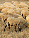 Farm sheeps Royalty Free Stock Images
