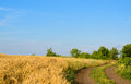 Farm track through a golden wheat field Royalty Free Stock Photo