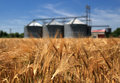Farm wheat field with grain silos for agriculture Stock Images